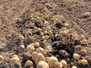 Kayseri patates