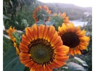 Kırmızı (Kızıl) Güneş Çiçeği
