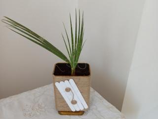 Palmiye fidesi